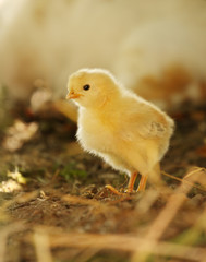 New Born Yellow Baby Chick in afternoon light