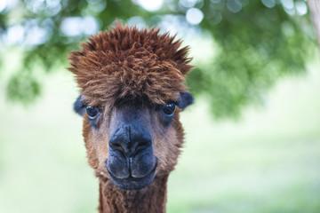 Foto op Plexiglas Lama Brown Alpaca