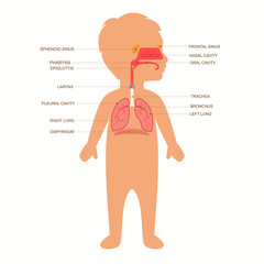 human respiratory system anatomy, child vector medical nose illustration