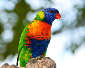 The rainbow lorikeet.