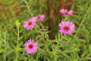 """""""New York Aster"""" flowers (or Michaelmas Daisy) in Innsbruck, Austria. Its scientific name is Aster Novi-Belgii, native to Canada and USA. (See my other flowers)"""