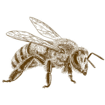 engraving  antique illustration of honey bee