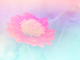 Abstract Blurry zinnia Flower colorful background. Beautiful flowers made with colorful filters.
