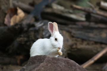 White rabbit with rocks.