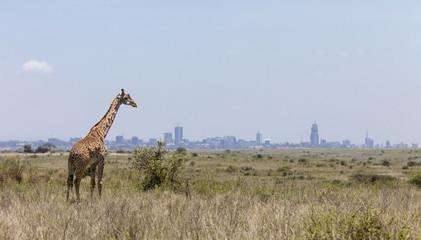 giraffe and Nairobi skyline