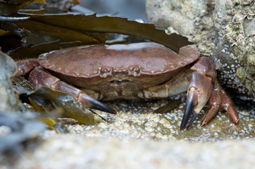 Brown Crab (Cancer Pagarus)/Brown Crab on a barnacle covered rock