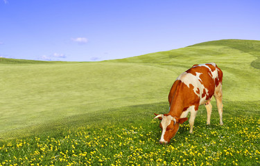 Wall Mural - Young cow grazing in the field.