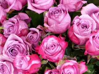 Purpurfarbene Rosenblüten mit Regentropfen auf dem Wochenmarkt in Gießen in Mittelhessen