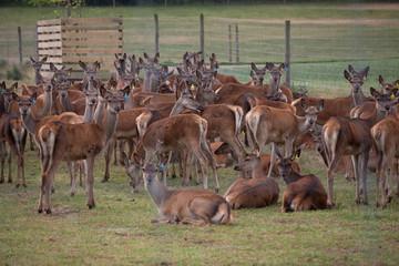 Obraz hodowla jeleni, jeleń  - fototapety do salonu