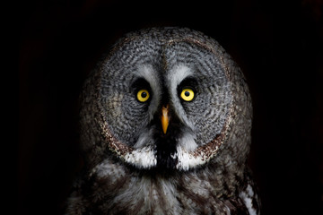 big eyed owl, staring owl