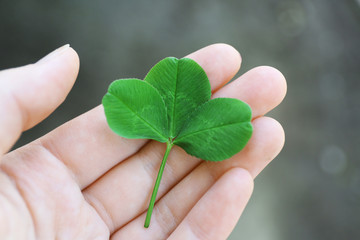 Clover leaves in female hand on blurred background