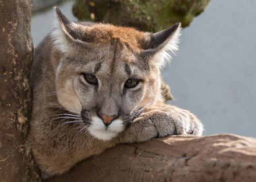 Puma, Mountain Lion headshot lying on a branch