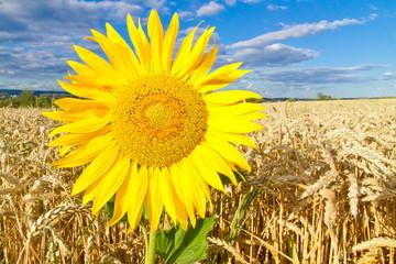 Wall Mural - Sonnenblume auf dem Weizenfeld