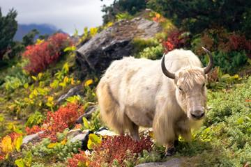 Beautiful Yak in Himalayas