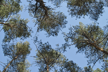Five pine treetops