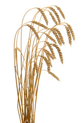 ears of ripe wheat isolated on a white background