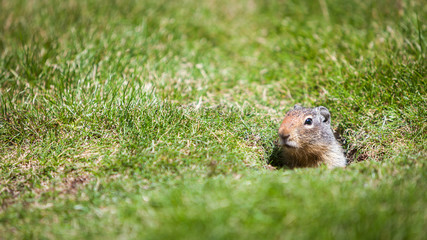 Ground Squirrel. An inquisitive ground squirrel at the entrance to his burrow on a grassy bank on a sunny day.