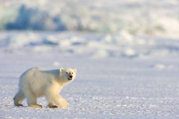 Eisbär auf Robbenjagd