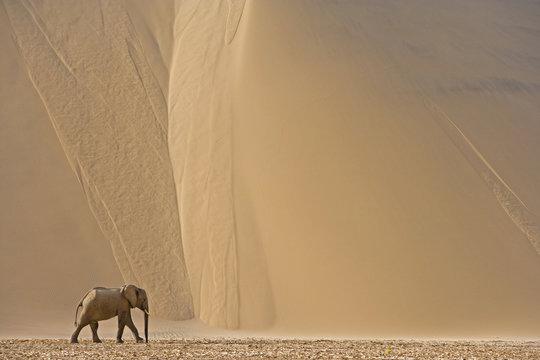 Wüstenelefant in den Sanddünen