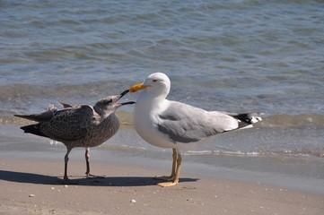 Zwei Silbermöwen, erbetteln von Futter am Strand