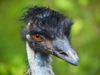 Portrait of emu - Dromaius novaehollandiae