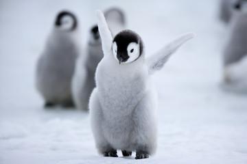 Photo sur Plexiglas Pingouin Kaiserpinguinküken
