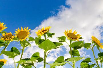 Wall Mural - Sonnenblumen im Garten