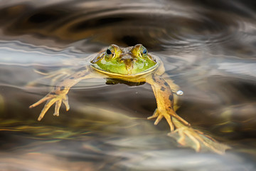 Frog portrait while looking at you