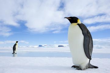 Kaiserpinguine wandern über das Eis