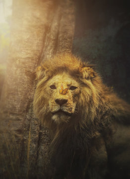 Beautiful Lion of Hope in Wild