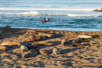 Elephant Seals on Beach in Breeding Season