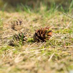 Kiefernzapfen auf dem Waldboden
