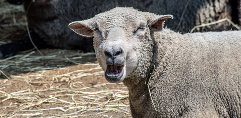 Yawning Sheep