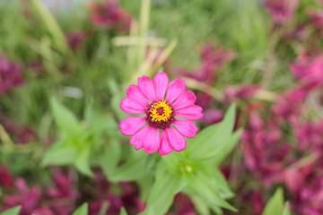 Pink sun flower in the garden