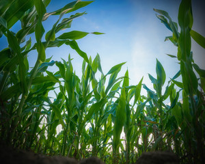 Green corn field. Perspective from the ground.