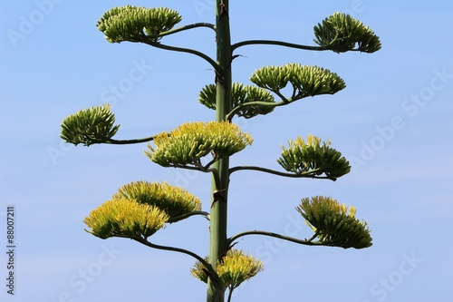 Branches De Fleur D Agave Americana Stock Photo And Royalty