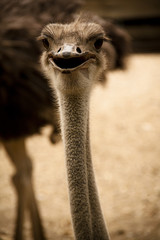 Head of an ostrich in the zoo of Cali