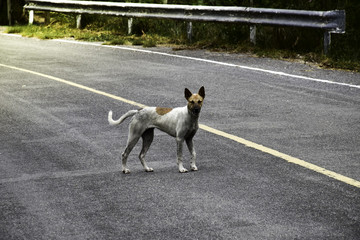 The dog on the road