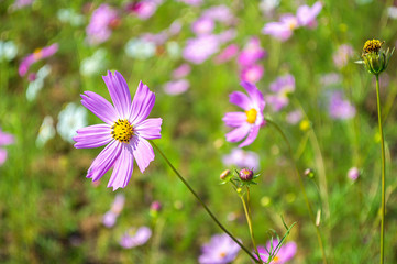 Cosmos flowers pink in the garden with green background