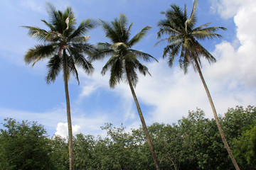 Coconut trees / The triple coconut trees standing prominently