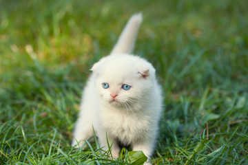 Little white kitten walks on green lawn