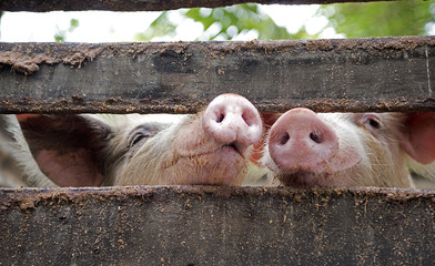 Pigs snouts together