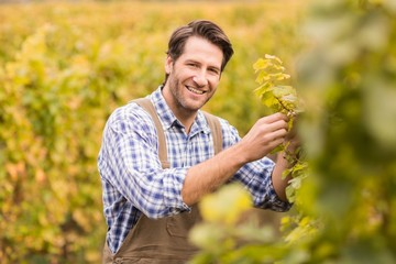 Smiling winegrower harvesting the grapes