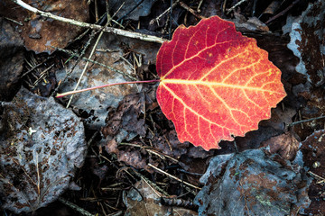 Vivid red leaf on ground autumn