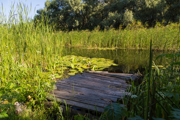 Summer landscape on  forest lake with water lilies , reeds and w