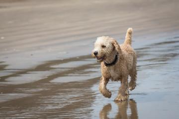 Spanish Water Dog on a Beach