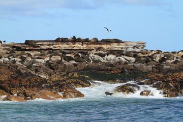 Seelöwen Kolonien bei Kapstadt in Südafrika