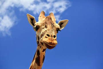 Giraffe Head Closeup