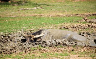 Water Buffalo in the Mud