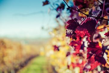 Winnice wzgórz Langhe jesienią